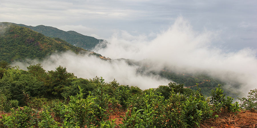 Mist covers the tea plants in the high mountain garden.