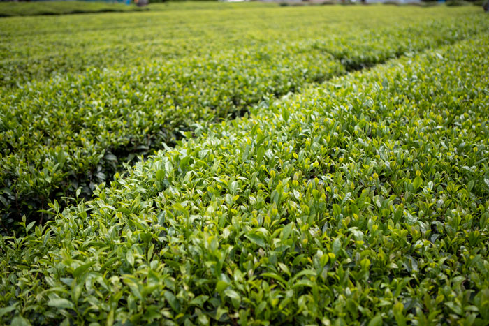 Shizuoka-is-known-for-its-pristine-tea-gardens