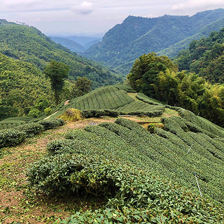 Surrounded by lush old-growth trees and coniferous forests, these trees contribute to give this tea its taste of place. It's green, fresh but thick and layered.