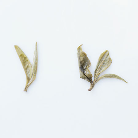 Wet Leaf - the young bud of Jasmine Silver Needle (L) and the unfurled bud and two leaves of a Jasmine Pearl (R)