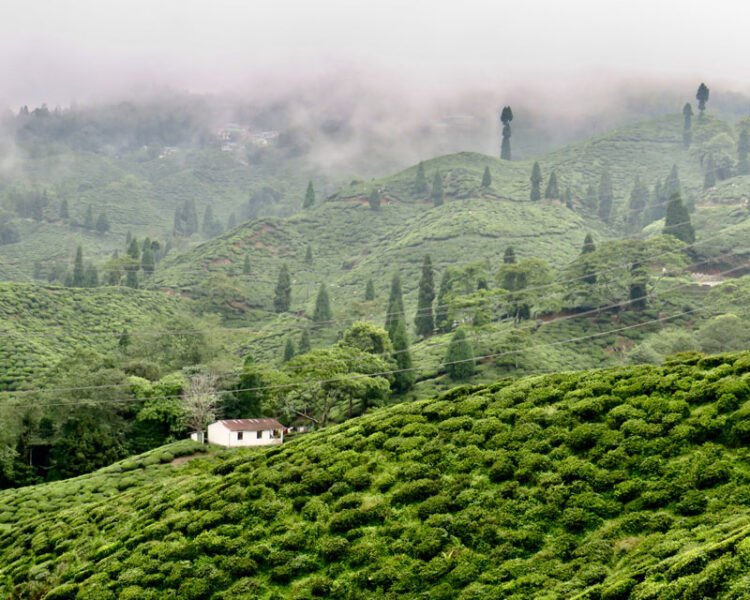 A mountain mist protects Darjeeling's tea bushes for much of the year big