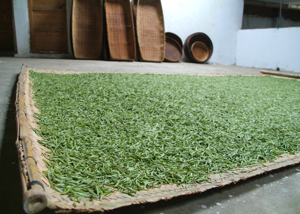 After-picking-the-young-buds-are-laid-on-trays-to-wither-slowly---it-dries-them-and-concentrates-their-flavours