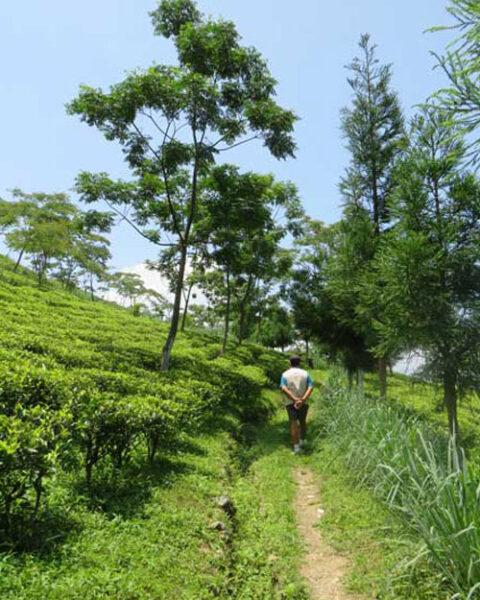 Mr Sen takes an afternoon walk through Badamtam tea garden in Darjeeling