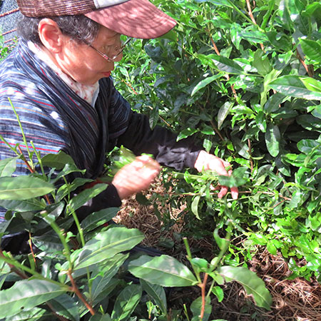 Picking the leaves - notice it's a multiple leaf and stem picking; because of the careful shading and cultivation the stems are considered tender enough to be included.