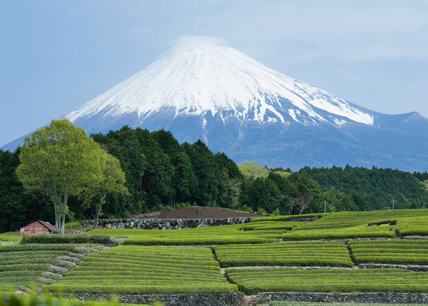 The-tea-gardens-of-Shizuoka-in-the-shadow-of-the-great-Mt.-Fuji