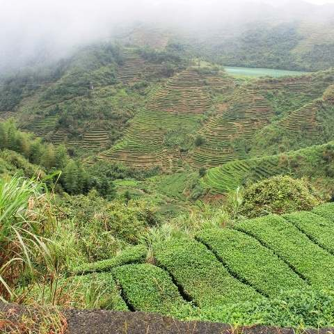 1. Tea gardens cover the rolling hills of Anxi county.
