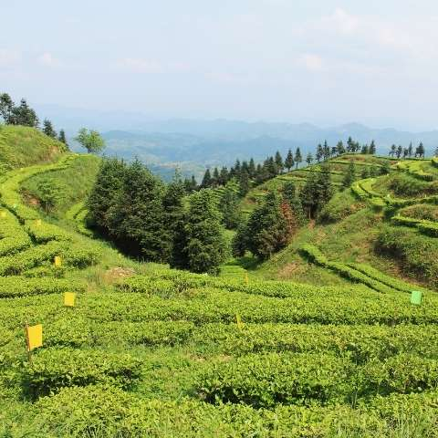Many tea gardens in this area of Hunan province, China, are known for producing sweet, thick and refreshing green teas.