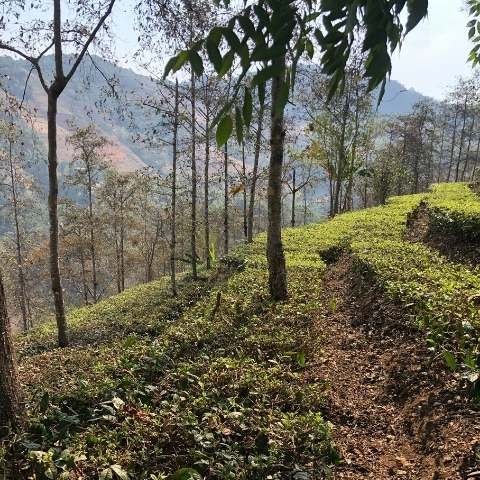 This organic tea garden dwells among Yunnan's ancient mountain ranges.