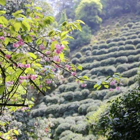 Four Seasons of Tea, Spring in Jiande, Hangzhou.