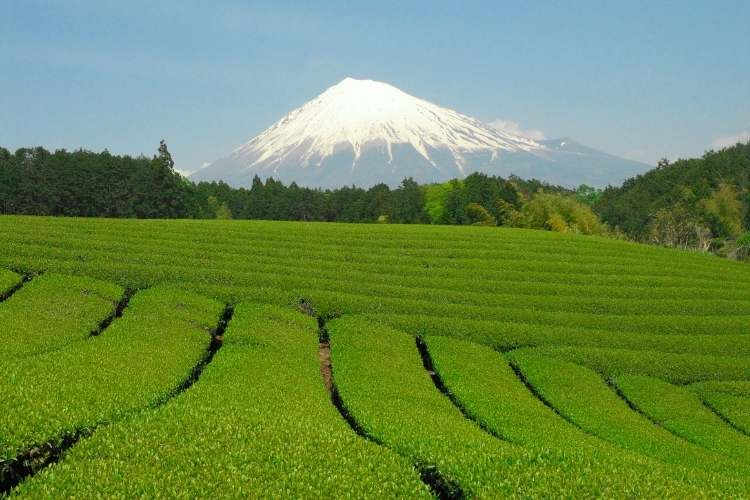 Tea is hugely important in Shizuoka prefecture; it accounts for 40% of the country's entire tea production.