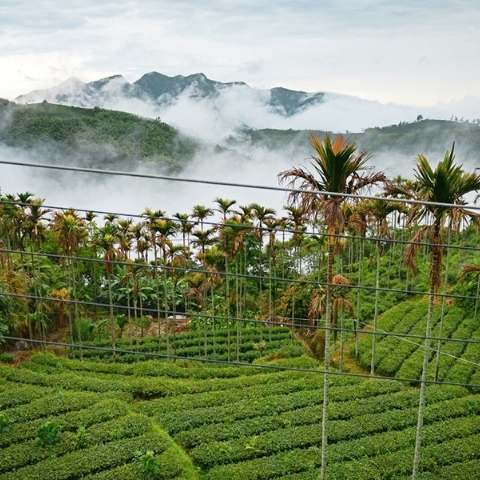 The tea gardens in Ali Shan covered in mist.