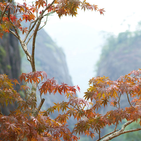 Four Seasons of Tea - Autumn trees in Wuyi, Fujian.