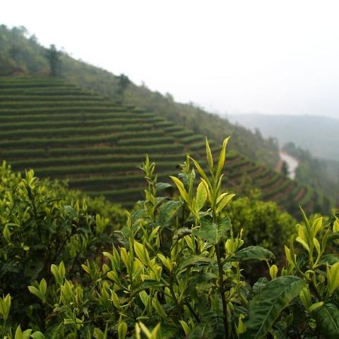 The ancient tea gardens of Yunnan have produced tea for millennia - it's one of the most celebrated terroirs in China.