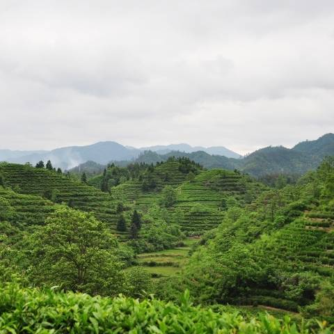 The home of Keemun Tea - with its majestic mountain scenery, classic architecture, and long history of making tea, Qimen county is a tea lovers paradise.