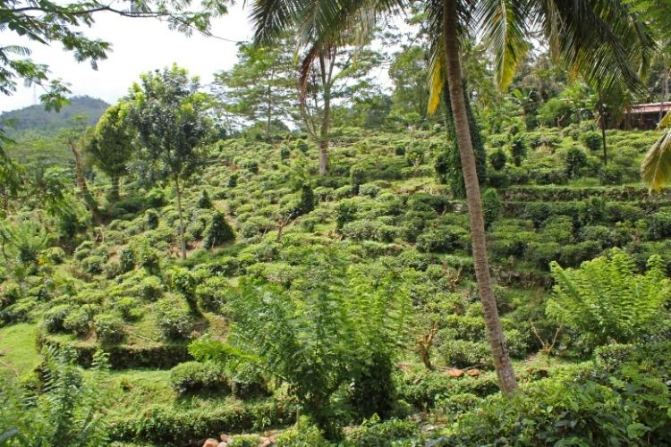 'The tea gardens in Ruhuna produce tea year-round without the tea plants becoming dormant during cooler seasonal conditions, giving less seasonal flavour variations and more consistency of taste.'