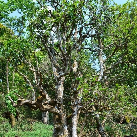 These wild trees grow beyond the cultivated gardens. They often reach over 15ft in height, anchored by their deep, long roots that encourage tea leaves full of nutrient-rich flavour.