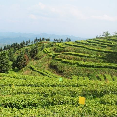 The luscious green of Baotian Garden in Hunan is an ideal location for producing organic green tea, as the winter chill gives way to spring.