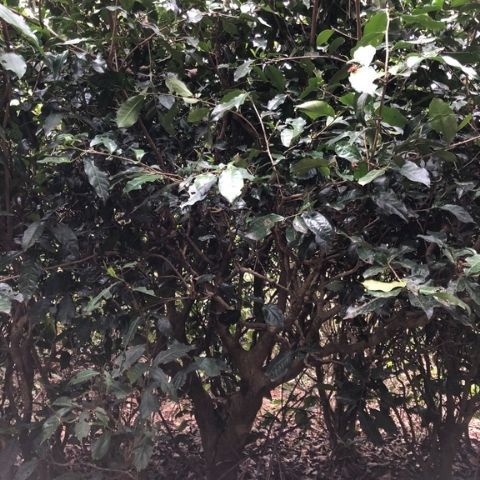 Our raw puerh is made from wild tea trees that are 50-60 years old that have grown tall and wide unlike regular planations tea bushes.