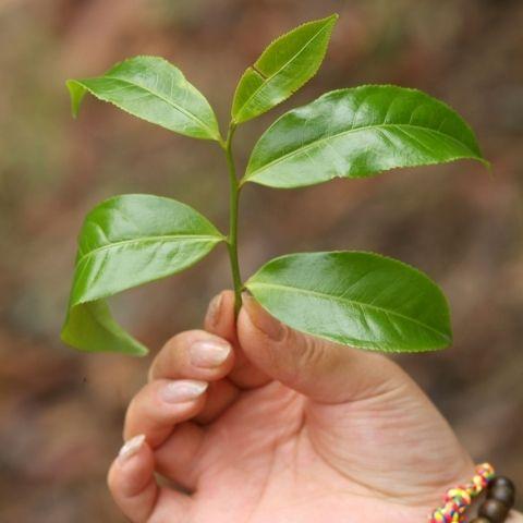 The assamica varietal of tea bush, native to Yunnan, creates puerh tea with a complex, fragrant and bitter-sweet taste.