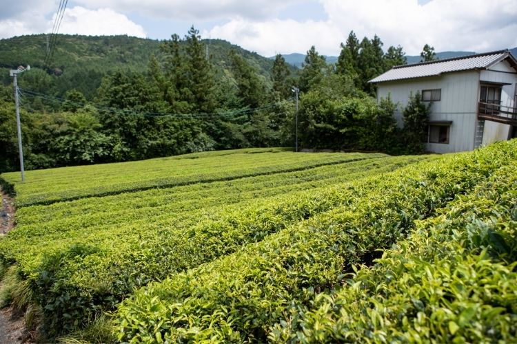 Ishiyama's Sencha tea bushes have held up through the extreme cold of winter, awaiting the warmth of spring.