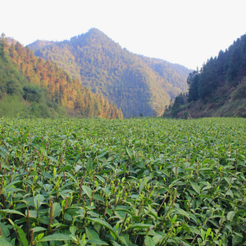 The beautiful tea fields of Baojing County, where Tom was able to source our Baoing Gold green tea during the first lockdown in spring 2020.