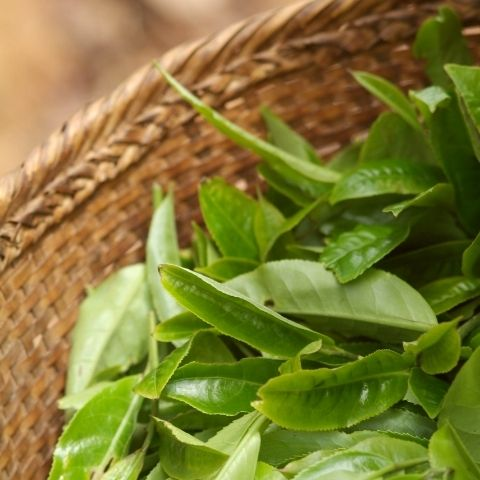 The freshly picked tea leaves come from trees that are are over 50 years old, grown in Mrs Feng's garden on Ai Lao Mountain.