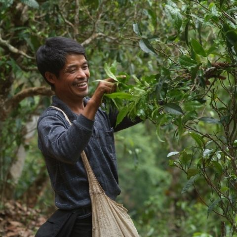 Most tea gardens in Yunnan are cared for by small families or villages, so knowing the land, weather and plants in the garden is essential.