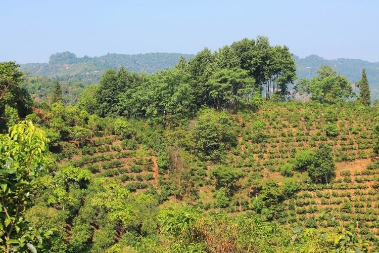The mountains of Yunnan province are the home of Puerh tea and an ancient terroir for tea production.