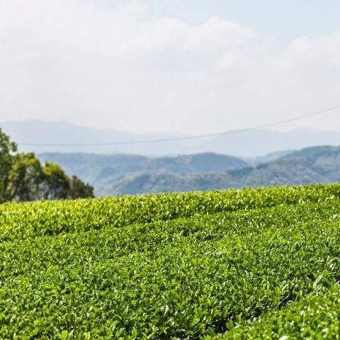 In the heart of Kagoshima in the subtropical south of Japan's Kyushu island, surrounded by cedarwood forests, lies the Yamaguchi family's tea garden.