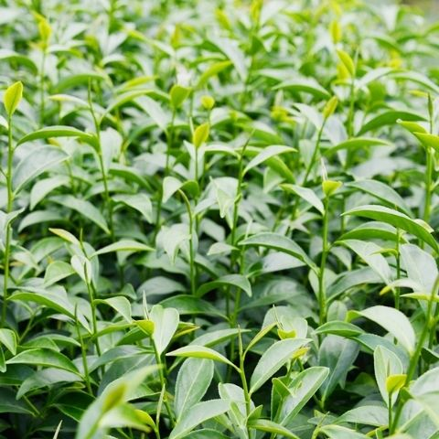 Using organic tea leaves means that what you get in the cup is simply great flavour and no chemical residues.
