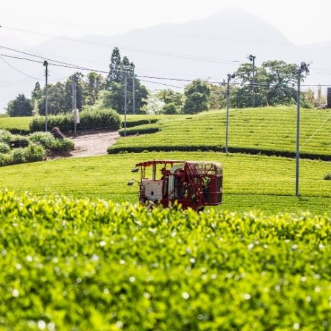 During the later spring and summer months, the Yamaguchi family will harvest the tea leaves with a small trimmer machine like this one.