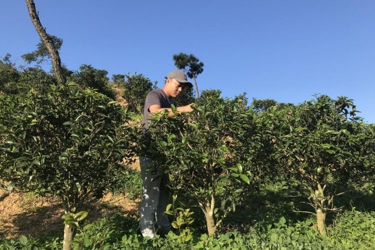 'My tea feels full of life' - Tea farmer Yong Luo on his Phoniex Honey Orchid oolong.