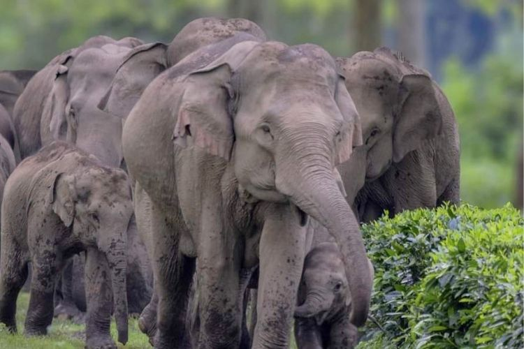 Talat's favourite animal is elephants, which he often sees in his tea garden.