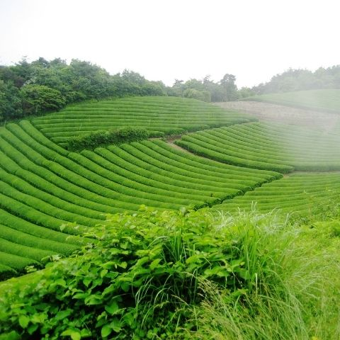 Every tea garden is unique and you can even find distinct microclimates or micro-terroirs within a single garden.