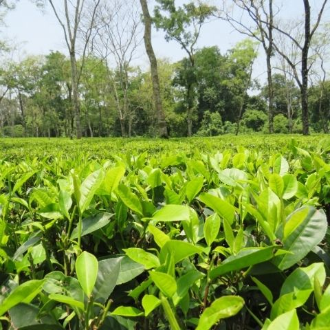 The hot summers in the low lying gardens of Assam help produce malty and rich black teas.