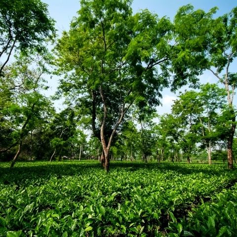 Being surrounded by nature and wildlife is one of the main reasons Talat works in tea.