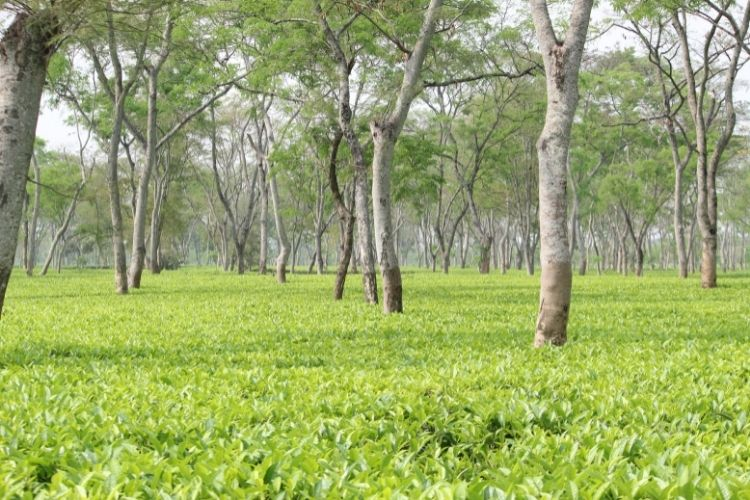 Talat has planted loads of trees in his garden to help protect and shade the tea bushes.