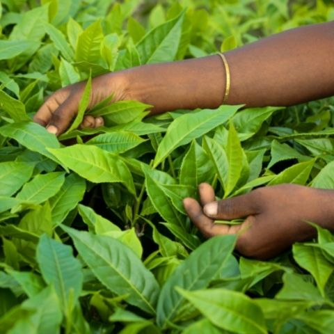 Most of the tea picking on the plantations in India is done by women.