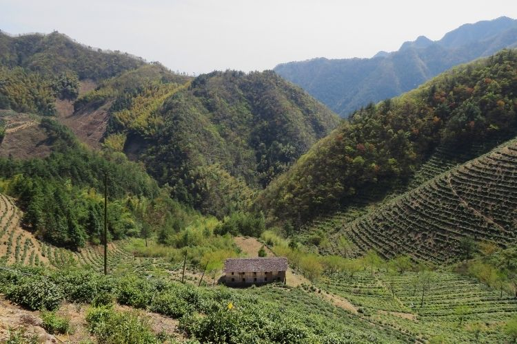 Tea producers in Hanghzou, China have mastered the art of Dragon Well green tea by cultivating new tea plant varieties and honing their methods.