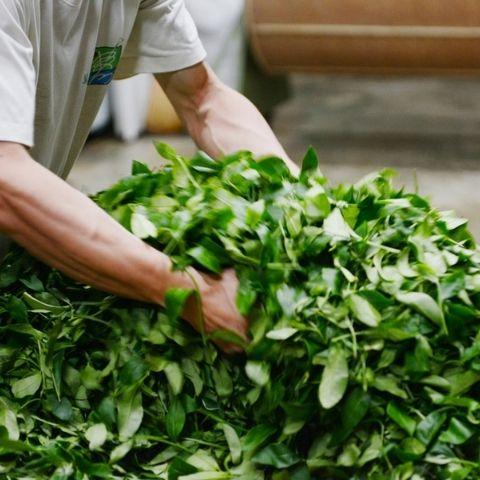 Both green tea and black tea begin life as freshly picked tea leaves.