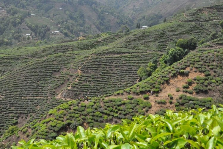 Okayti Tea Estate is one of the highest in the region, with some of the bushes growing more than 1,900m up.