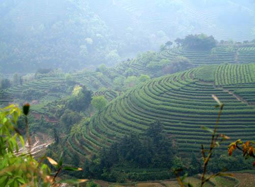 Tea Fields in Fuan