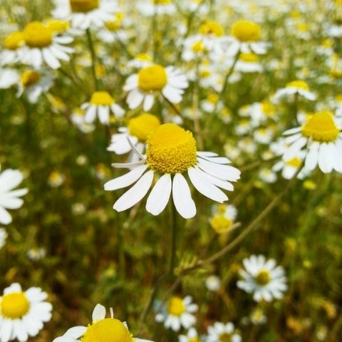 Chamomile flowers are a mellow, floral and soothing herbal infusion