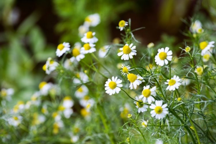 The original Greek name for Chamomile meant 'earth apple' due to its apple-like scent