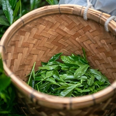 fresh tea leaves being picked during the spring in Shizuoka, Japan