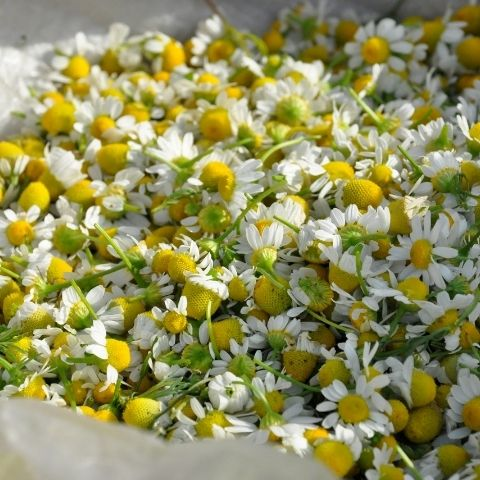 Chamomile flowers are picked and slowly dried to retain their essential oils and delicate flavour