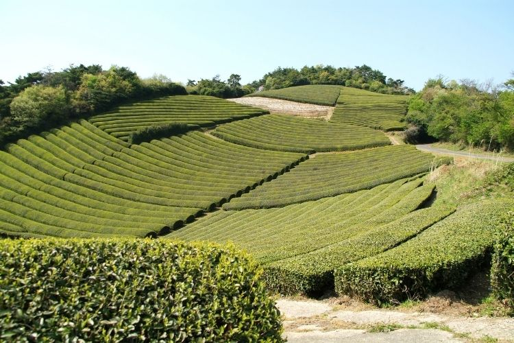 Spring time in the tea gardens of Kagoshima, Japan where the leaves for our organic ceremonial matcha are grown and harvested