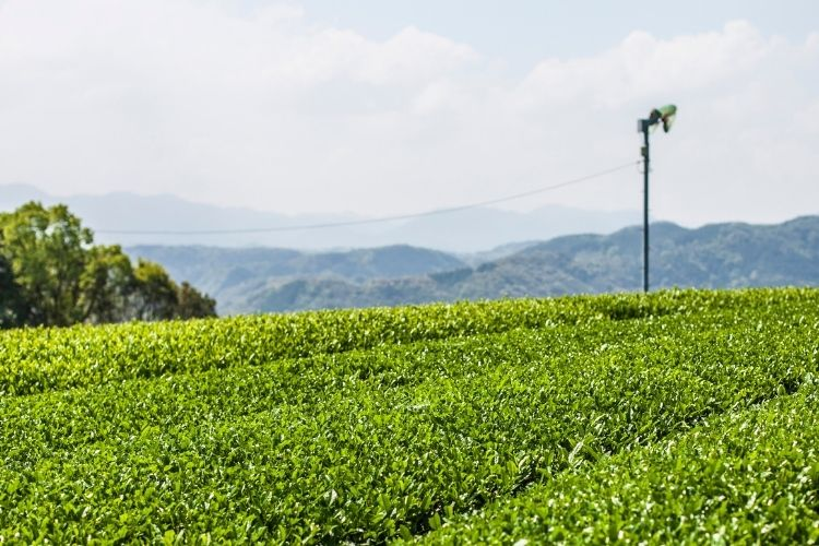 Tea bushes in Kagoshima, Japan where leaves are picked in the summer months to craft Bancha