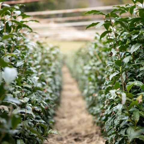 Gyokuro tea bushes are shaded under a canopy before picking, to create an even more intense umami experience