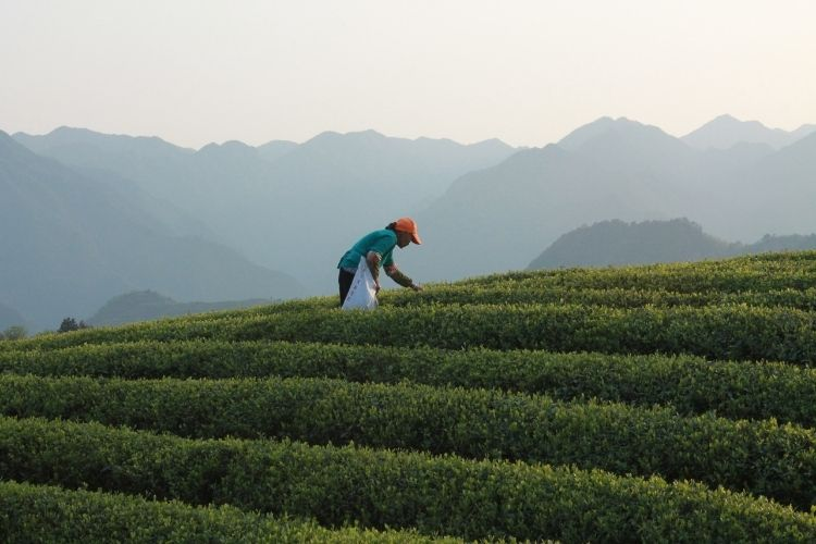 The best green teas are handpicked during the early spring season capturing the essence of spring in their taste